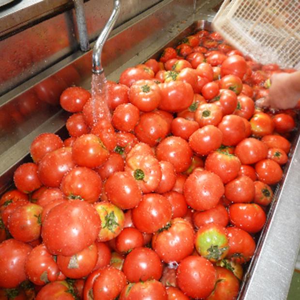 明宝トマトケチャップのできるまで その1 まずは採れたて、新鮮な岐阜県産完熟トマトを 丹念に手洗いします。 傷んでいるものは、この時点で取り除かれます。